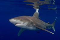 oceanic_whitetip