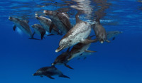 spotted_dolphins