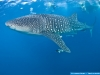 Whale shark in West Palm Beach, Florida