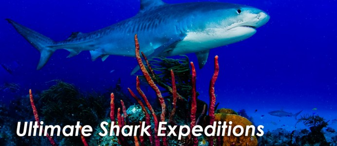 shark-expeditions