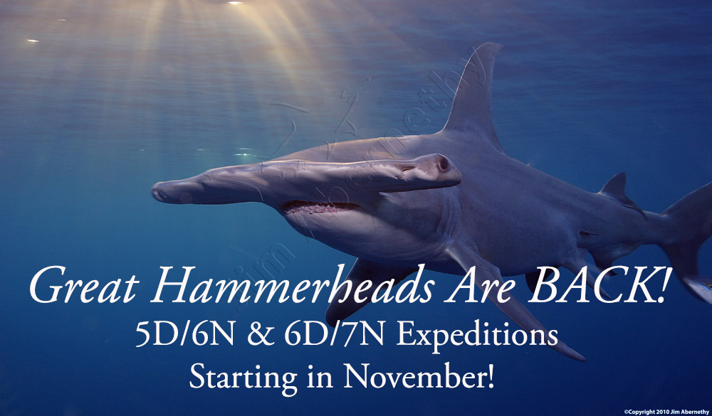 Great Hammerheads Return