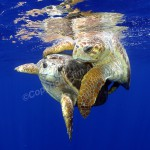 loggerhead-turtle-mating-jim-abernethy-040328-094859-1