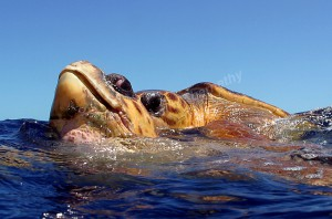loggerhead-turtle-mating-jim-abernethy-040328-094859-6