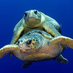 loggerhead-turtle-mating-jim-abernethy-040328-094859-9
