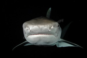tiger-shark-at-night-jim-abernethy-img-8006
